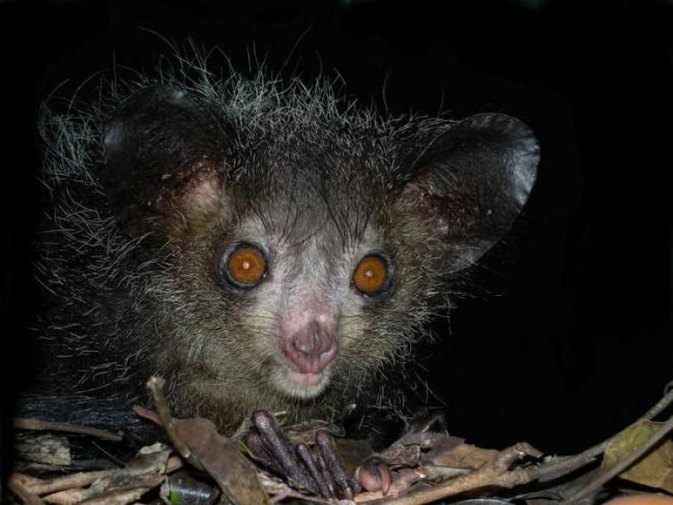 Lemur Aye Aye.
