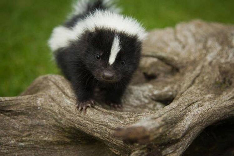 Skunks.