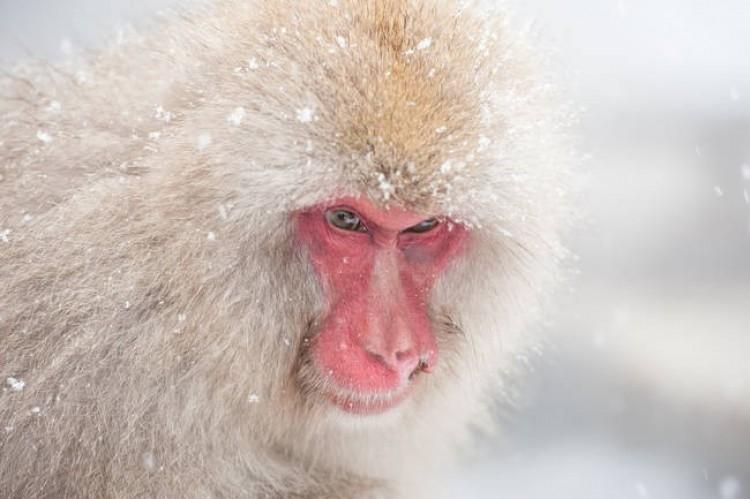 Śnieżna małpa.