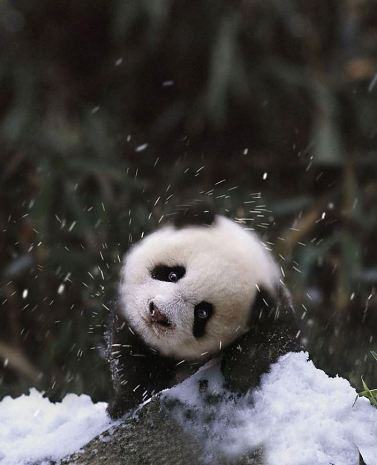 Mała panda też się cieszy.