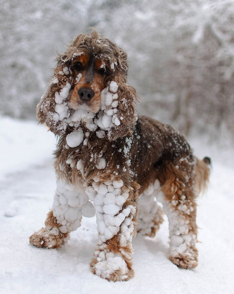 Pierwszy śnieg Cocker Spaniela.
