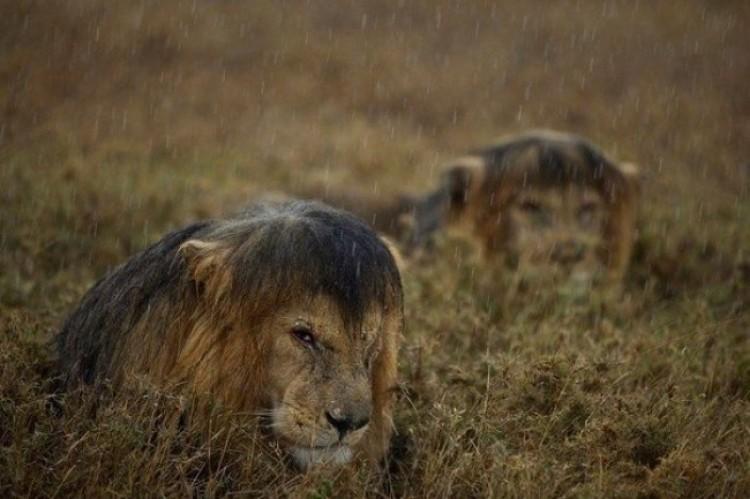 Lwy w deszczu. Tanzania.
