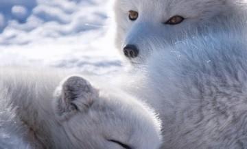Lisy rządzą! Szczególnie zimą.