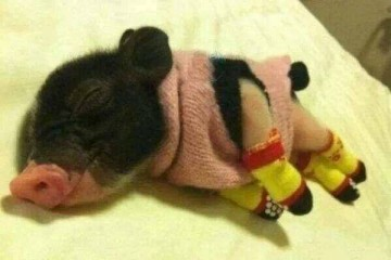 I ta malutka świnka ma cieplutko przez całą noc.