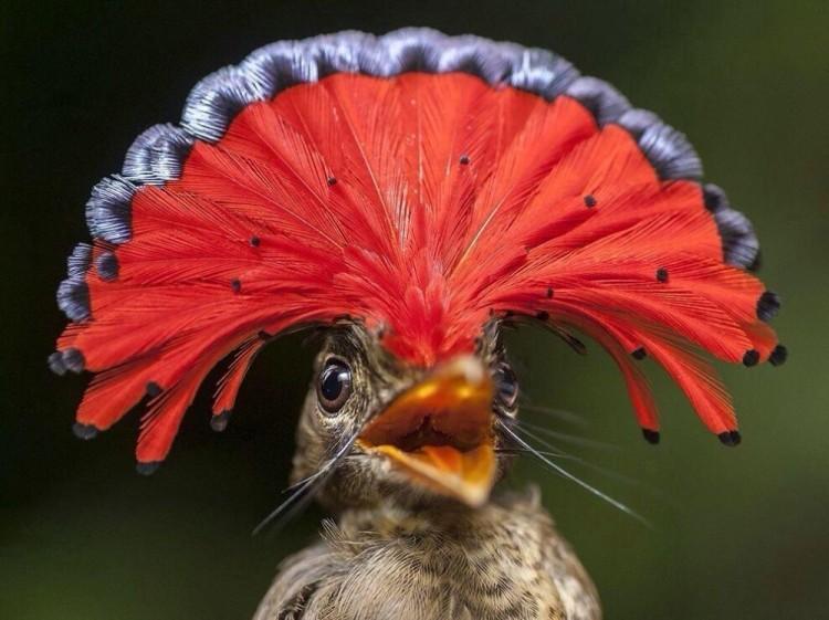Królewskie okrycie głowy. Gujana