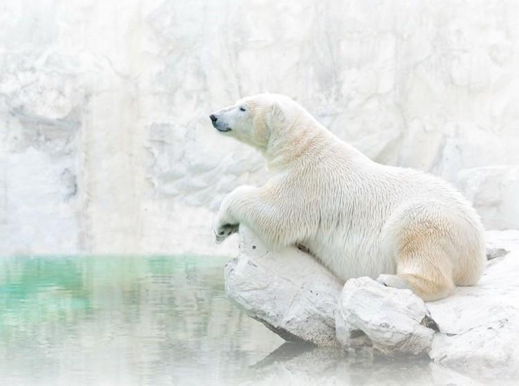 Biały niedźwiedź odpoczywa.