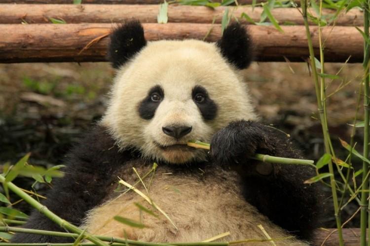 Panda udawała ciążę, żeby dostać więcej bułeczek. Chiny