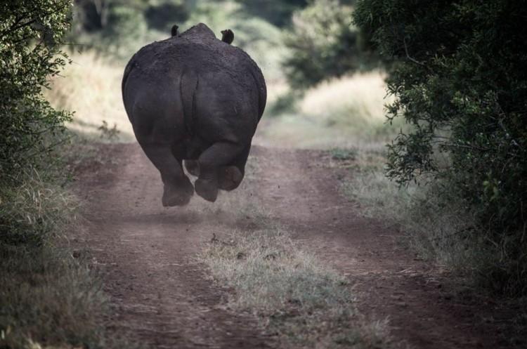 Uciekający nosorożec. Afryka